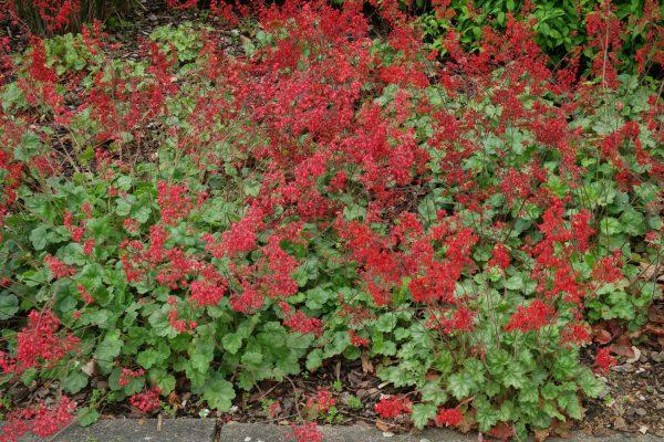 Гейхера кроваво-красная Корал Форэст (Heuchera sanguinea Coral Forest)