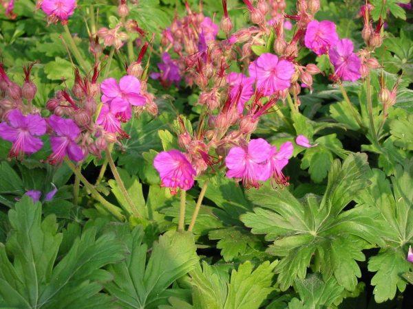Герань крупнокорневищная Беванс Вариет (Geranium macrorrhizum Bevan`s Variety)