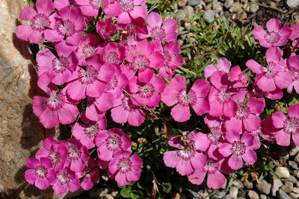 Гвоздика альпийская (Dianthus alpinum Rose Star)