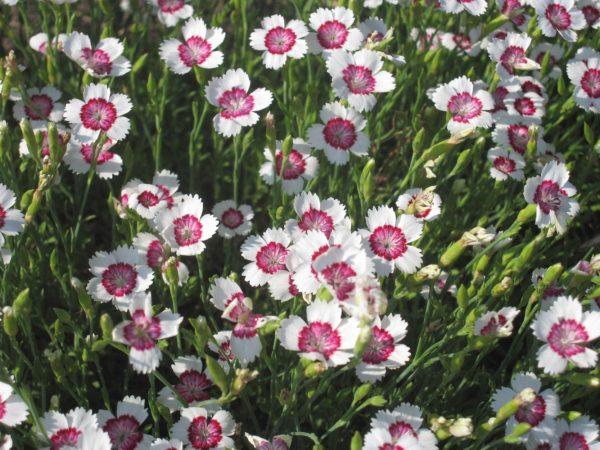 Гвоздика травянка Арктик Файер (Dianthus deltoides Arctic Fire)