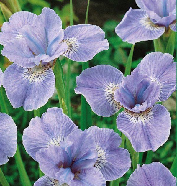 Ирис сибирский Диэ Дилайт (Iris sibirica Dear Delight)