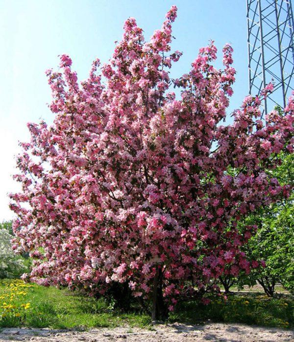 Яблоня декоративная Ола (Malus Ola)