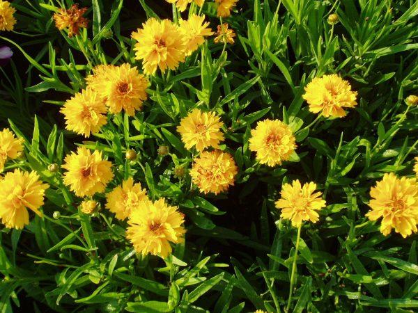 Кореопсис крупноцветковый Эрли Санрайз