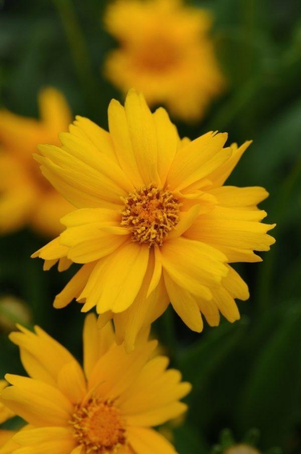 Кореопсис крупноцветковый Сан Ап