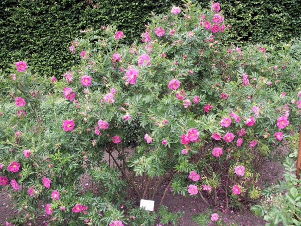 Роза блестящая
