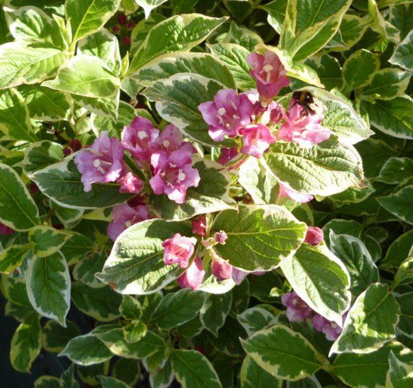 Вейгела цветущая Вариегата